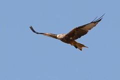 hns_8028-rode-wouw-milan-royal-milvus-milvus-rotmilan-red-kite