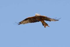 hns_8031-rode-wouw-milan-royal-milvus-milvus-rotmilan-red-kite