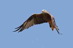 hns_8035-rode-wouw-milan-royal-milvus-milvus-rotmilan-red-kite
