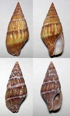 Anachis varia (varia dove snail shells) (Venado Beach, Panama) 4