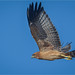 Spotted Harrier: Evening Hunt