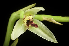 Bulbophyllum tripetalum Lindl., Ann. Mag. Nat. Hist. 10: 185 (1842)