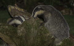 National Badger Day - Badgers peanut snuffling in my garden (J) (Meles meles) 2 clicks for zoom