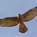 Spotted Harrier: Rising to the Threat
