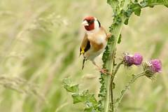 DSC_6983 Putter mn : Chardonneret eleganz : Carduelis carduelis : Stieglitz : Eurasian Goldfinch
