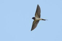 DSC_9959Boerenzwaluw : Hirondelle rustique : Hirundo rustica : Rauchschwalbe : Swallow
