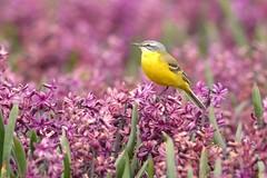DSC_5596 Gele Kwikstaart : Bergeronnette printaniere : Motacilla flava : Schafstelze : Yellow Wagtail : Lavandera boyera