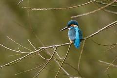 HNS_1512 IJsvogel : Martin-pecheur d'Europe : Alcedo atthis : Eisvogel : River Kingfisher