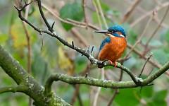 DSC_9835 IJsvogel juveniel man: Martin-pecheur d'Europe : Alcedo atthis : Eisvogel : River Kingfisher : Martin pescador comun
