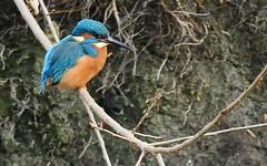 DSC_9717 IJsvogel : Martin-pecheur d'Europe : Alcedo atthis : Eisvogel : River Kingfisher : Martin pescador comun