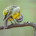 Eastern Yellow Robin: Just Checkin'