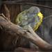 Eastern Yellow Robin: Snoozing