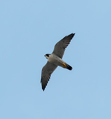 Peregrine flying-1