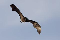 Black-eared Flying Fox - Christmas Island sub species (Pteropus melanotus)
