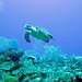 Chelonia mydas (green sea turtle) (Grand Cayman Island, Caribbean Sea) 1