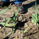 Elephant garlic growing in Doris and Donald Kidd's field