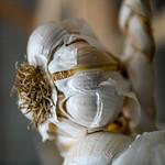 Harvested elephant garlic, a cross between garlic and leeks