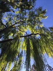 Tree on Markham St above Harbord St, Toronto