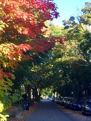 Red maple leaves on leafy Markham St, Toronto