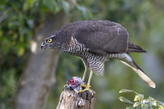 Photo of Eurasian Sparrowhawk (Accipiter  nisus) - Market Drayton, Shropshire, UK.