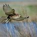 Brown Falcon: Hover