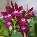 Laeliocattleya Sagarik Wax African Beauty
