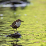 Dipper on the river Ebbw