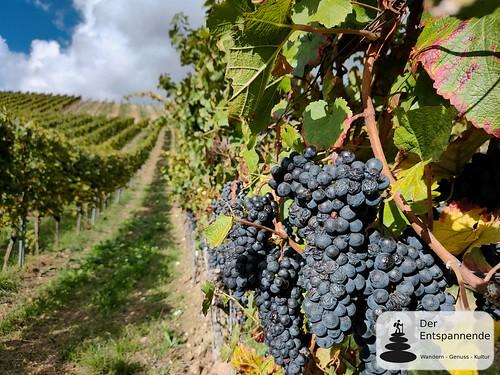 Weintrauben im Weinberg - Herbstspaziergang bei Zornheim in den Weinbergen über dem Selztal