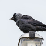 Jackdaw on a lamp post