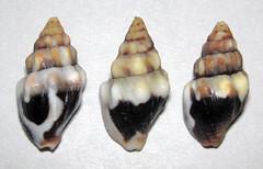 Anachis rugosa (rough dove snail shells) (Panama) 1