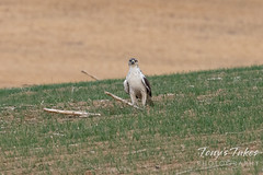 October 10, 2020 - A ferruginous hawk hangs out. (Tony's Takes)