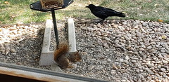 October 2, 2020 - A squirrel and crow sneak a meal. (David Canfield)