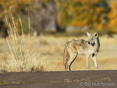 October 13, 2020 - Coyote on the prowl.  (Bill Hutchinson)
