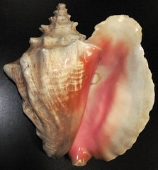 Strombus gigas (queen conch) (Grand Bahama Island) 4