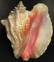 Strombus gigas (queen conch) (Grand Bahama Island) 5