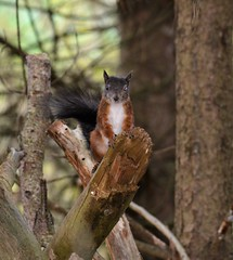 Photo of Red squirel