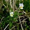 Field Pansy : Viola arvensis
