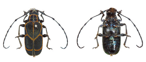 Coroicoia ligata