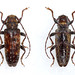 Pseudoterinaea bicoloripes