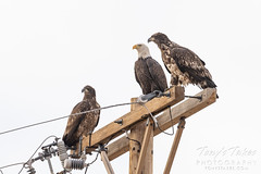 October 17, 2020 - Trio of bald eagles in Adams County. (Tony's Takes)