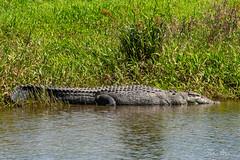 Male saltwater crocodile