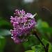 lilac bloom