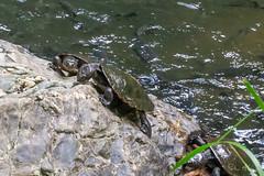 Turtles feeding at Cassowary Falls