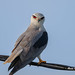An Intense Black Winged Kite