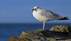 Photo of Sitting Gull