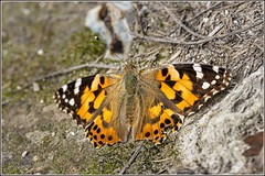 Photo of Painted Lady butterfly (Vanessa cardui)