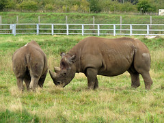 Photo of Black Rhinoceros - Yorkshire Wildlife Park, October 2020