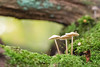 Mossy Fungi