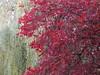 UK - Berkshire - Pangbourne - Autumn colour