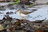 Spotted Sandpiper ( Juv)  First Ayrshire record
